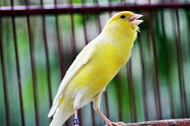 Tips Mastering Burung Kenari