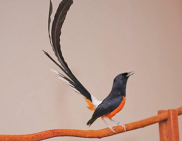 murai batu medang, koleksi favorit penggemar burung kicau