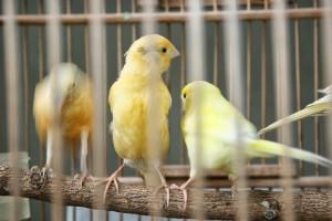 Tips Memilih dan Memelihara Anakan Indukan Kenari Lokal Import 2015