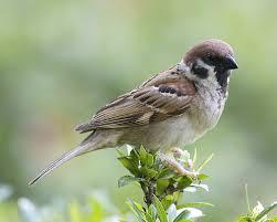 Mudahnya Menyilangkan Emprit Jepang dengan Burung Lain