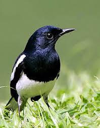 Mengetahui Jenis Burung Kacer dan Tips Cara Kacer Rajin Bunyi (Gacor)