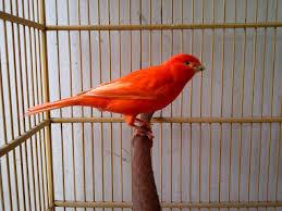 Mengetahui Ciri Kenari Wortel Warna Merah 'Aspal' Di Pasaran