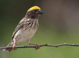 Burung Manyar, si Penenun Sarang yang Indah