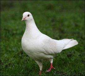 Mengenal Burung Merpati, Simbol Keabadian dan Ketangguhan