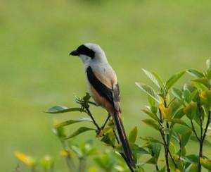 Tips Ampuh Cara Burung Pentet Gacor dan Rajin Bunyi