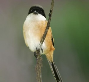 Tips Ampuh Cara Burung Pentet Gacor dan Rajin Bunyiq