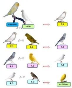 Tips Untuk Peternak Burung Kenari Menghasilkan Anakan Indukan Super