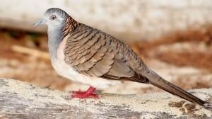 Tips Merawat Burung Perkutut Agar Gacor dan Rajin Manggung