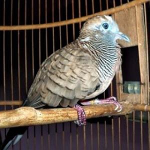 Memelihara Burung Perkutut Dengan Mengetahui Ciri dan Jenisnya
