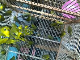 Tips Ampuh Memilih Burung Pleci Ombyokan
