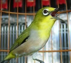 Mengetahui Cara Merawat Burung Pleci Agar Gacor dan Rajin Bunyi