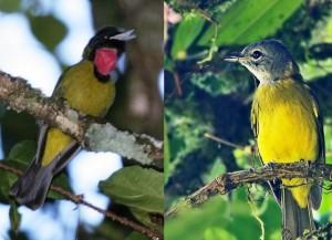 Burung Samyong, Si Jenius yang Bersuara Dahsyat