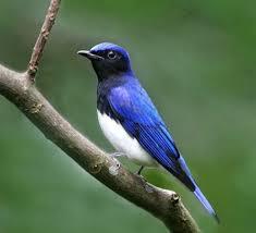 Mengenal Pesona Burung Selendang Biru