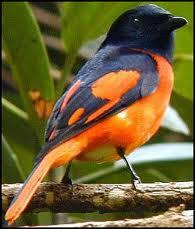 Mengetahui Jenis Burung Mantenan Yang Ada di Indonesia