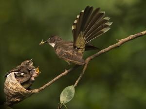 Burung Sikatan, Si Mastering Murai Batu Yang Berumur Pendek