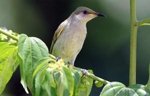 Cucak kombo, burung penghisap madu untuk suara burung masteran
