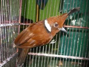 Tips Merawat Burung Cililin Agar Cepat Gacor