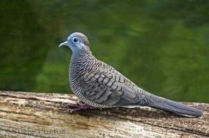 Burung Perkutut dan Kualitas Suaranya