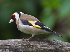 Kumpulan Suara Masteran Burung