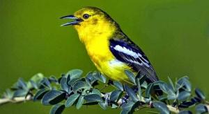 Tips Perawatan Burung Sirtu Agar Cepat Gacor