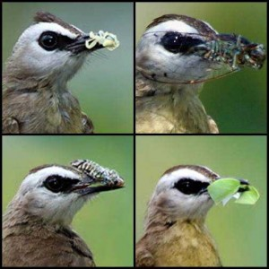 Tips Merawat Burung Trucuk Berkicau