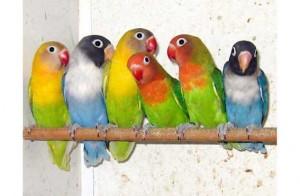 Tips Merawat Burung Lovebird yang Tepat