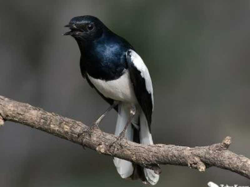 Mengenal Burung Kacer dan Mengatasi Mbagong