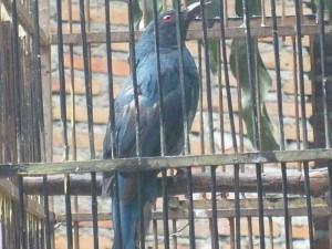 Burung Cucak Keling: Si Pemilik Suara Kicauan Yang Melengking