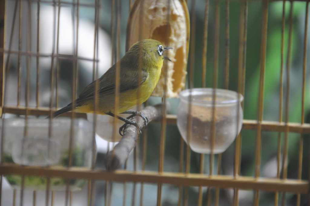 Tips Merawat Burung Pleci Agar Cepat Gacor!