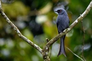 Beberapa Jenis Spesies Burung Kicau Murah Suara Merdu