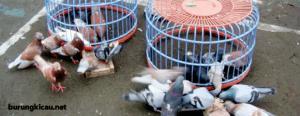 Cara Memelihara dan Merawat Burung Merpati Balap
